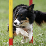 slalom - border collie